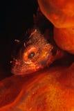 Piccoli pesci in spugna fotografia stock