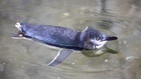 Piccoli pinguini blu, minore di Eudyptula Immagini Stock
