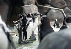 Piccoli pinguini di Humboldt Immagine Stock