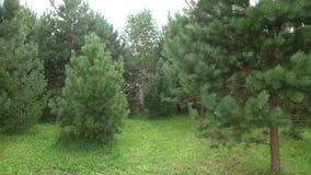Piccoli pini verdi nel giardino Il genere delle piante legnose delle Pinacee stock footage