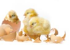 Piccoli polli Immagini Stock