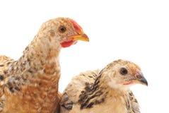 Piccoli polli Immagini Stock Libere da Diritti