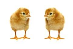 Piccoli polli appena nati del bambino fotografia stock libera da diritti