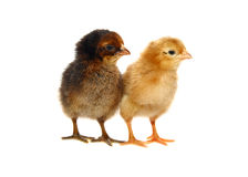Piccoli polli appena nati del bambino immagine stock