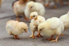 Piccoli polli bianchi Fotografia Stock Libera da Diritti