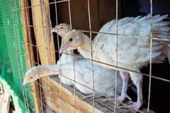 Piccoli polli bianchi del tacchino Fotografia Stock