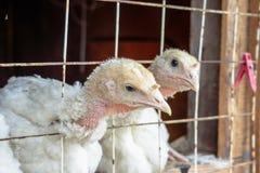 Piccoli polli bianchi del tacchino Immagini Stock