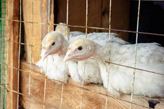 Piccoli polli bianchi del tacchino Immagine Stock