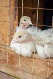 Piccoli polli bianchi del tacchino Fotografia Stock Libera da Diritti