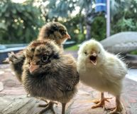 Piccoli polli del bambino Immagini Stock Libere da Diritti