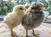 Piccoli polli del bambino Fotografia Stock