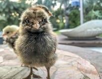 Piccoli polli del bambino Fotografie Stock