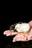Piccoli polli del bambino nelle mani dei bambini con fondo nero Fotografia Stock