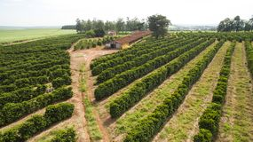 Piccoli polli dell'azienda agricola e caffè all'interno del Brasile Fotografia Stock