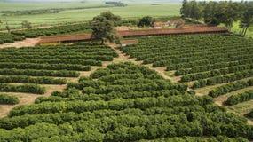 Piccoli polli dell'azienda agricola e caffè all'interno del Brasile Fotografia Stock Libera da Diritti
