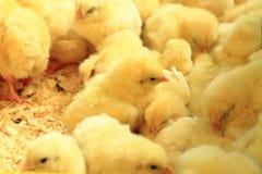 Piccoli polli gialli Immagine Stock