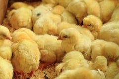 Piccoli polli gialli Immagine Stock Libera da Diritti