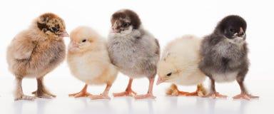 Piccoli polli lanuginosi Fotografia Stock