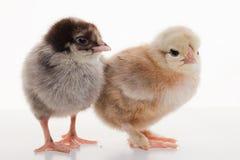 Piccoli polli lanuginosi Fotografie Stock