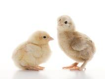 Piccoli polli lanuginosi Fotografia Stock Libera da Diritti