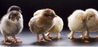Piccoli polli lanuginosi Immagini Stock