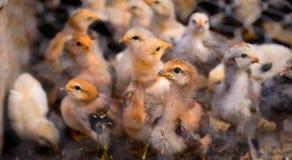 Piccoli polli marroni Fotografie Stock Libere da Diritti