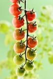 Piccoli pomodori ciliegia Immagine Stock