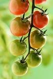Piccoli pomodori ciliegia Fotografia Stock