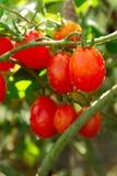 Piccoli pomodori di ciliegia rossi Fotografie Stock Libere da Diritti