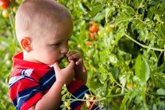 Piccoli pomodori di raccolto del ragazzo Fotografia Stock