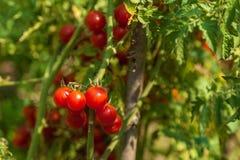 Piccoli pomodori rossi freschi su un cespuglio Fotografie Stock Libere da Diritti