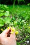 Piccoli pomodori verdi Fotografie Stock