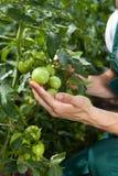 Piccoli pomodori verdi Fotografie Stock Libere da Diritti