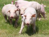 Piccoli porcellini crescenti rosa che pascono sull'azienda agricola di maiale rurale Fotografie Stock Libere da Diritti