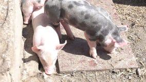 Piccoli porcellini sull'azienda agricola archivi video