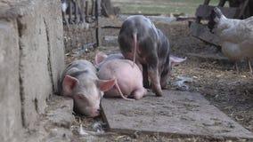 Piccoli porcellini sull'azienda agricola video d archivio