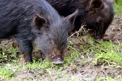 Piccoli porcellini svegli del bambino Fotografia Stock Libera da Diritti