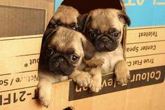 Piccoli pugs Fotografie Stock Libere da Diritti