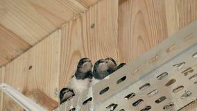 Piccoli pulcini affamati che aspettano un alimento video d archivio