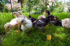 Piccoli pulcini che si alimentano all'esterno Immagine Stock Libera da Diritti