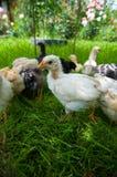 Piccoli pulcini che si alimentano all'esterno Fotografia Stock Libera da Diritti