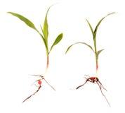 Piccoli semenzali del cereale Fotografia Stock Libera da Diritti