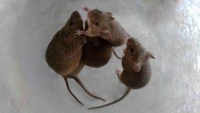 Piccoli topi adorabili avvolti in un barattolo fotografia stock libera da diritti