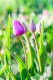 Piccoli tulipani rosa Fotografia Stock Libera da Diritti