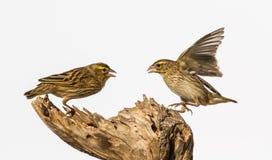 Piccoli uccelli Immagini Stock Libere da Diritti