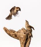 Piccoli uccelli Fotografie Stock Libere da Diritti