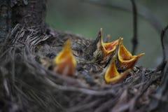 Piccoli uccelli che gridano per gli uccelli del mamma Fotografie Stock