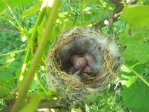 Piccoli uccelli del nido Fotografie Stock