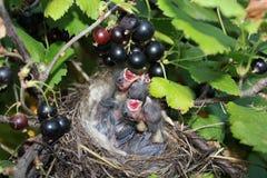 Piccoli uccelli di bambino Immagini Stock
