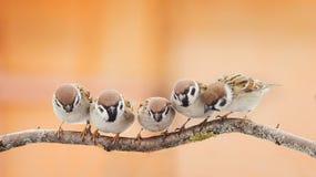 Piccoli uccelli divertenti che si siedono su un ramo e che guardano stranamente Fotografie Stock Libere da Diritti